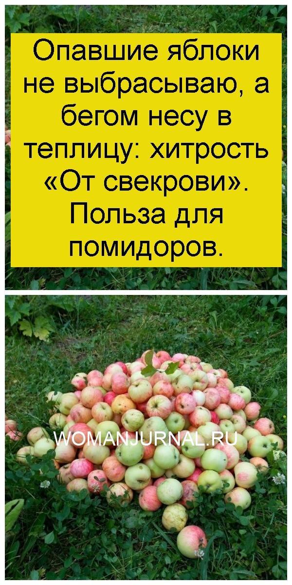 Опавшие яблоки не выбрасываю, а бегом несу в теплицу: хитрость «От свекрови». Польза для помидоров 4