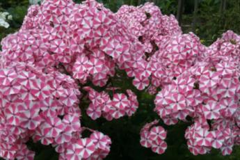 Пора начать готовить флоксы к зиме, чтобы они отблагодарили пышным цветением: 4 важных шага 1