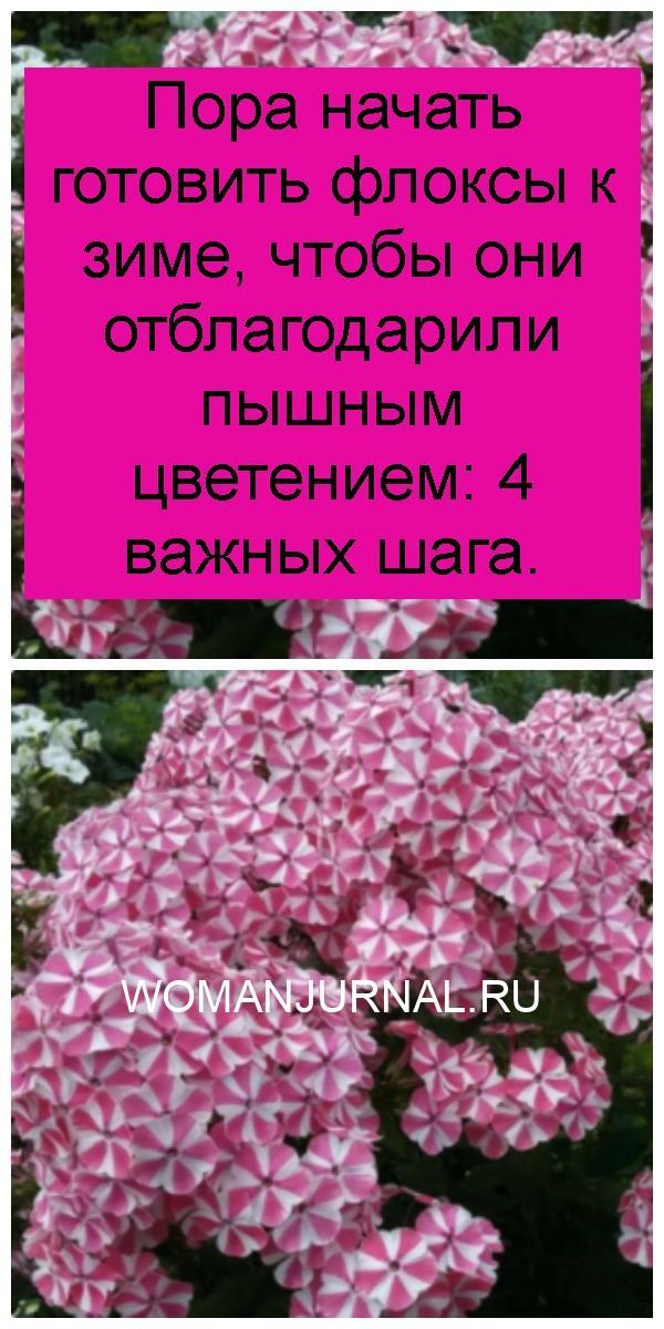 Пора начать готовить флоксы к зиме, чтобы они отблагодарили пышным цветением: 4 важных шага 4
