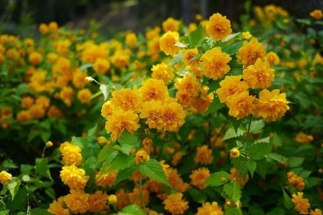 Посадив в своём саду три неприхотливых кустарника, мимо не пройдёшь, чтобы не оглянутся на эту красоту 7