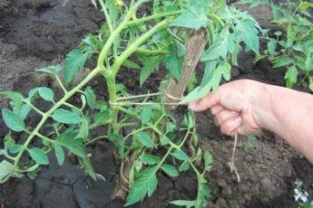 Простой способ подвязки помидоров без палок за пять минут 1