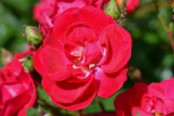 Чем подкормить розы весной и летом для пышного цветения 1