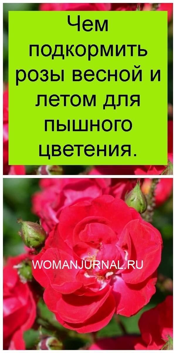 Чем подкормить розы весной и летом для пышного цветения 4