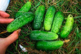 Чтоб огурцы радовали урожаем: простой рецепт 1
