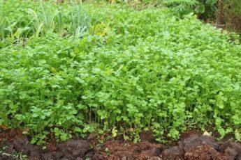 Что будет с землей, если засеять горчицей грядки после картошки и оставить ее в земле до весны 1