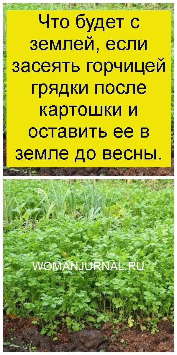 Что будет с землей, если засеять горчицей грядки после картошки и оставить ее в земле до весны 4