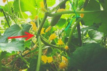 Что нельзя делать с огурцами, чтобы не остаться без урожая 1