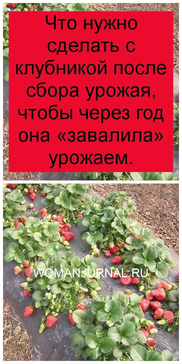 Что нужно сделать с клубникой после сбора урожая, чтобы через год она «завалила» урожаем 4