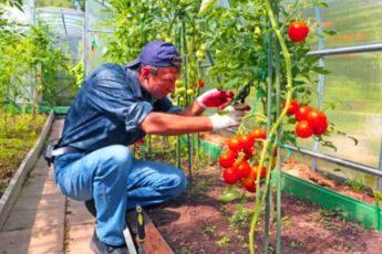 Брат из Абхазии посоветовал подкормку, от которой мои томаты стали крупные и сочные 1