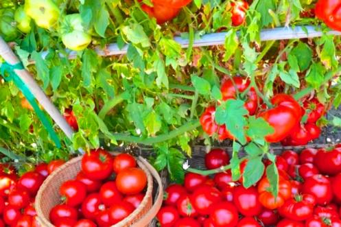 Брат из Абхазии посоветовал подкормку, от которой мои томаты стали крупные и сочные 6