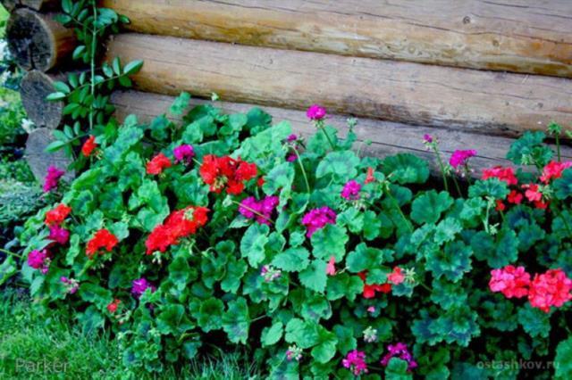 Дача для ленивых: 5 растений, которые растут и цветут «сами по себе» 7