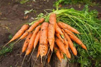 Жаль, что поздно узнала об этих урожайных, с длительным хранением сортах моркови. Буду сеять только их 1