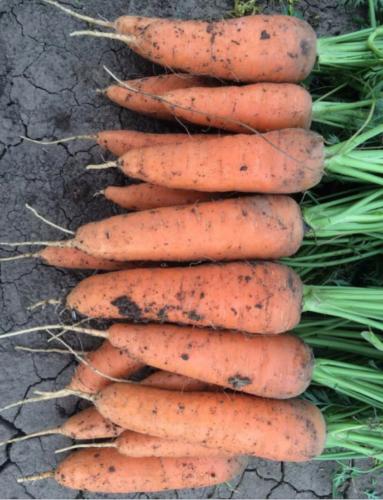 Жаль, что поздно узнала об этих урожайных, с длительным хранением сортах моркови. Буду сеять только их 6