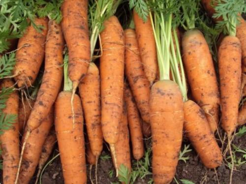 Жаль, что поздно узнала об этих урожайных, с длительным хранением сортах моркови. Буду сеять только их 7