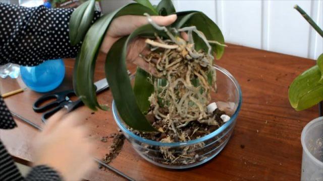 Из-за чего вянут листья у орхидеи? Как вернуть любимое растение к жизни 1