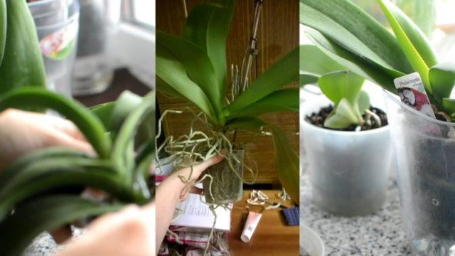 Из-за чего вянут листья у орхидеи? Как вернуть любимое растение к жизни 6