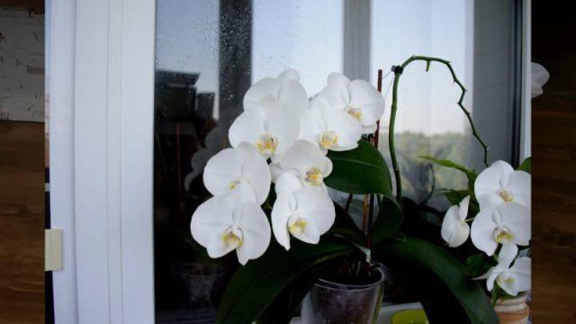 Из-за чего вянут листья у орхидеи? Как вернуть любимое растение к жизни 7