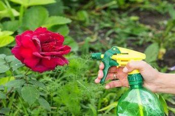 Йод и молоко прогнали тлю с моих роз. А у меня уже и руки опустились 1