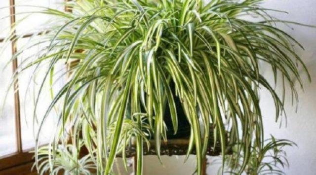 Комнатные растения, которые лучше всего очищают воздух в помещении 6
