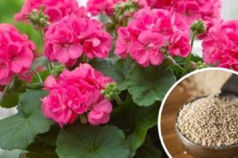 Обычные дрожжи способствуют бурному цветению растений. Теперь всегда использую эту подкормку 1