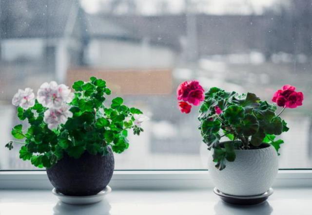 Перекись водорода для комнатных цветов — бальзам в зимнее время 5