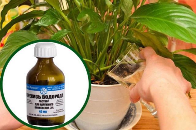 Перекись водорода для комнатных цветов — бальзам в зимнее время 7