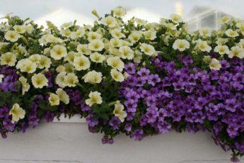 Пять секретов от опытных садоводов для обильного цветения петунии 1