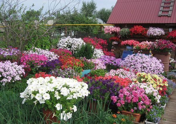 Пять секретов от опытных садоводов для обильного цветения петунии 5