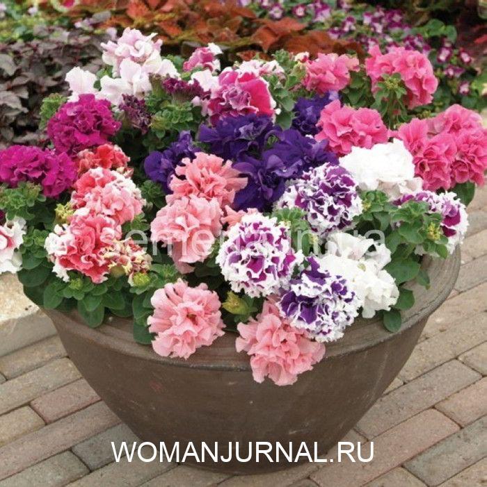 Пять секретов от опытных садоводов для обильного цветения петунии 6