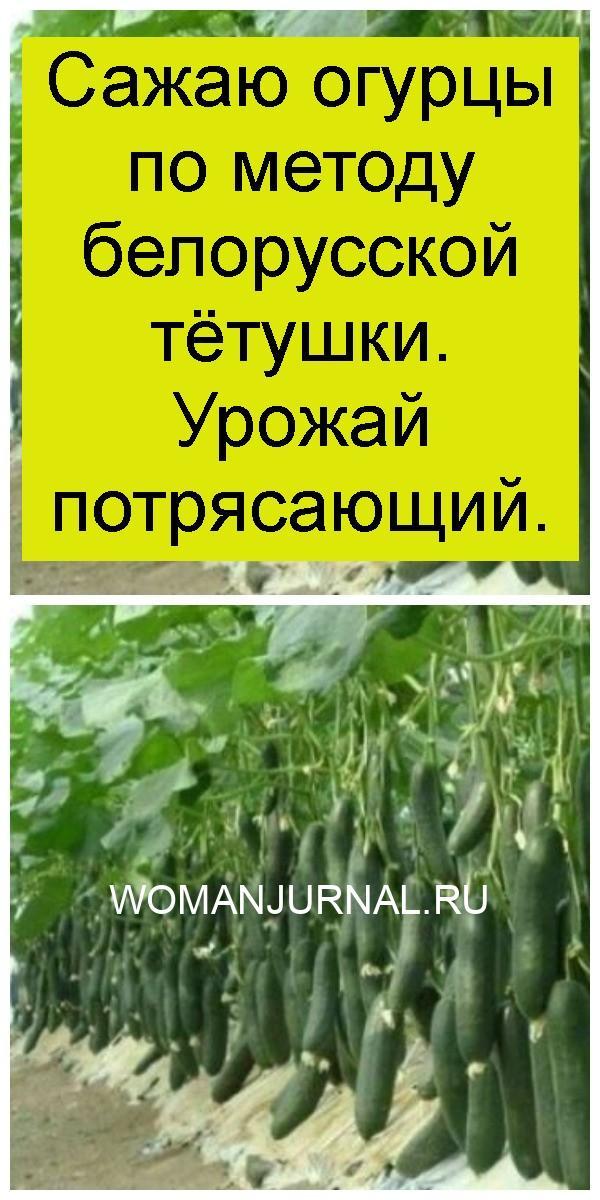 Сажаю огурцы по методу белорусской тётушки. Урожай потрясающий 4