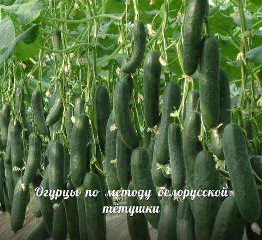 Сажаю огурцы по методу белорусской тётушки. Урожай потрясающий 5