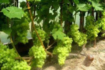 Секреты правильной осенней обрезки винограда 1