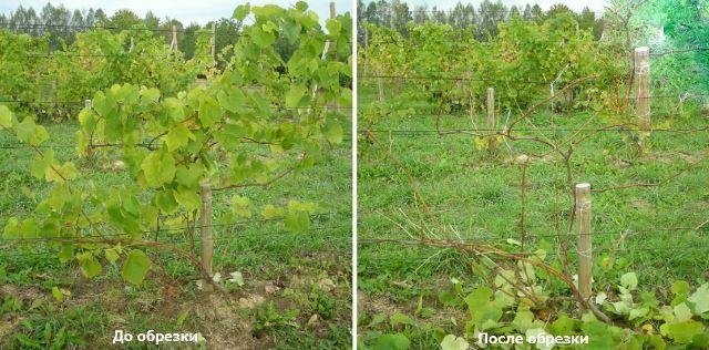 Секреты правильной осенней обрезки винограда 6