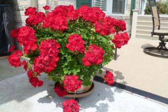 Удобряем герань йодом осенью и вскоре получаем шикарное цветение. Как все правильно сделать 1