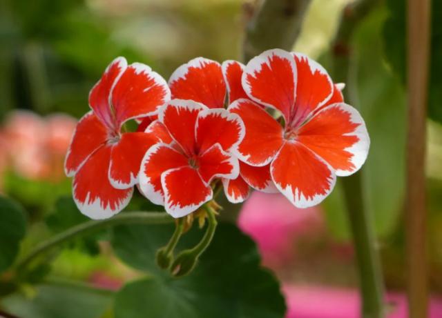Удобряем герань йодом осенью и вскоре получаем шикарное цветение. Как все правильно сделать 6