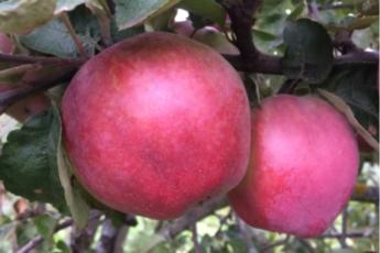 Уникальный вкусный сорт яблок выдерживает морозы до -42˚С, масса до 350 гр, лежат до апреля. Сажать однозначно 1