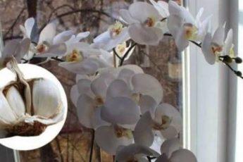 Чеснок — настоящее спасение для орхидей! Мой цветок зацвел уже через месяц как никогда 1