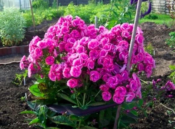 Я просто обожаю сажать под зиму эти 4 захватывающе красивых цветка 1