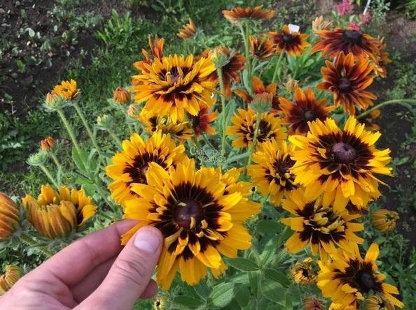 Я просто обожаю сажать под зиму эти 4 захватывающе красивых цветка 6